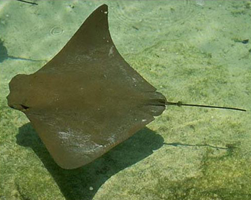 Mystery as 300 stingrays are found washed up on a mexican for Types of ray fish