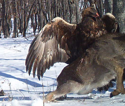 Cameras Capture Eagle Taking Down Deer In Russia