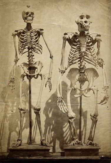 human skeleton vs gorilla skeleton – lickclick, Skeleton