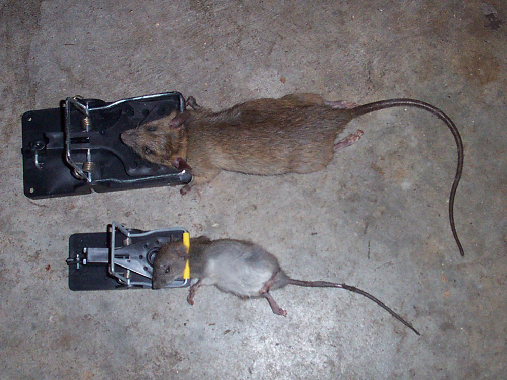 Giant Rats On The Rise Again In The Uk Page 1