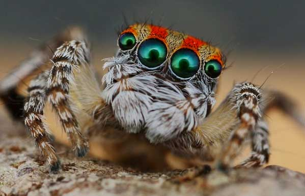 These little guys are very real. The species, Maratus volans have been ...: www.abovetopsecret.com/forum/thread966541/pg