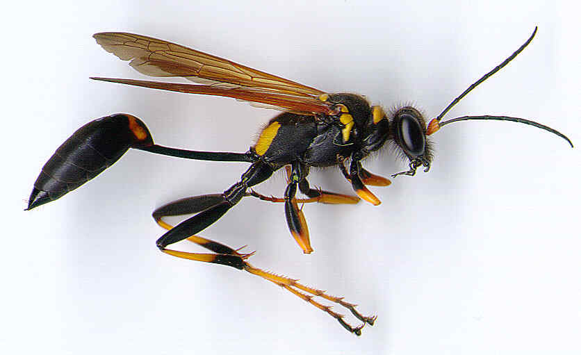 dozens killed and hundreds injured by swarms of giant hornets page 2