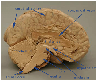 Functionality of the Human Brain Compared to Functionality ...