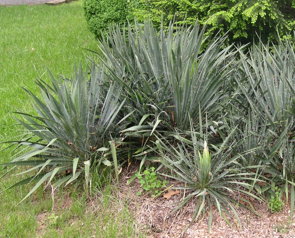 Yucca Plant of the week 5 page 1