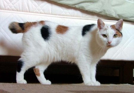crossbred cats